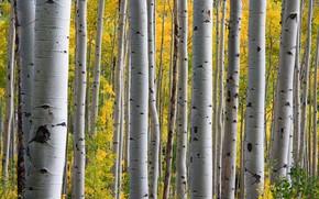 Картинка осень, лес, осины