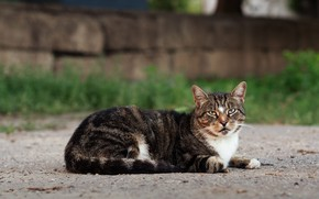 Картинка кошка, кот, взгляд, природа, поза, мордочка, лежит