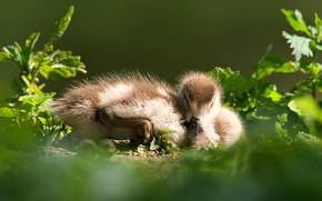 Картинка трава, листья, свет, поза, птица, сон, спит, утка, птенец, утенок