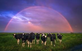 Картинка поле, небо, радуга, коровы, Нидерланды