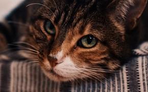 Картинка кошка, взгляд, морда