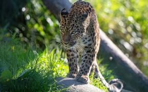 Картинка трава, взгляд, морда, свет, поза, леопард, прогулка, крадется, боке