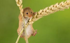 Картинка фон, мышка, колоски, колосья, грызун, Мышь-малютка