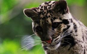 Картинка кошка, окрас, Дымчатый леопард
