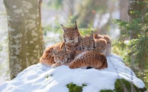 Обои зима, лес, взгляд, снег, ветки, природа, поза, уют, фон, стволы, котята, три, рысь, трио, рыси, ...