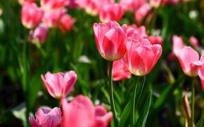 Картинка свет, цветы, весна, тюльпаны, розовые, парочка, дуэт, бутоны