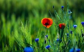 Картинка цветы, рожь, маки, красные, колосья, васильки, ржаное поле