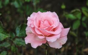 Картинка роза, розовый цветок, красивая роза, цветок розы