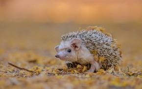 Картинка осень, белый, взгляд, листья, природа, фон, мордочка, ежик, ушки, ушастый, ёжик, боке, осенние, еж, ёж
