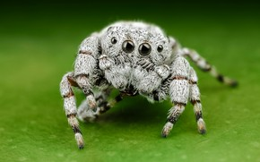 Картинка белый, глаза, макро, поза, зеленый, фон, лапки, светлый, паук, мохнатый, прыгун, джампер, паучок, шерстяной, скакунчик, …