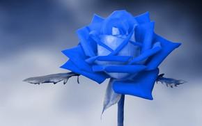 Картинка фон, роза, голубая