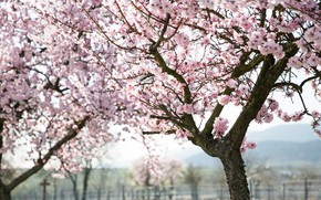 Картинка деревья, цветы, ветки, природа, вишня, весна, сакура, розовые, цветение, много, цветущая, в цвету, обильное, плодовые