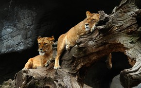 Картинка взгляд, поза, темный фон, камни, дерево, отдых, две, пара, коряга, дикие кошки, львица, зоопарк, лежат, …