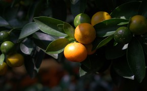 Картинка листья, ветки, природа, темный фон, плоды, фрукты, мандарины, цитрусовые