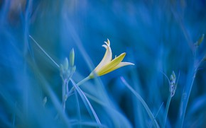 Картинка фото, трава, цветок, лилия
