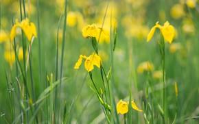 Картинка зелень, цветы, стебли, поляна, желтые, ирисы, боке