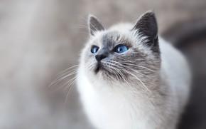 Картинка кошка, глаза, усы, взгляд, голубые глаза