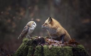 Картинка осень, лес, природа, животное, сова, птица, листва, пень, лиса, лисица