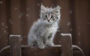 Картинка серый, котёнок, пушинки, Юрий Коротун