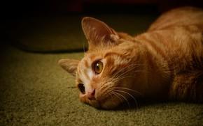 Картинка кошка, кот, взгляд, темный фон, рыжий, лежит