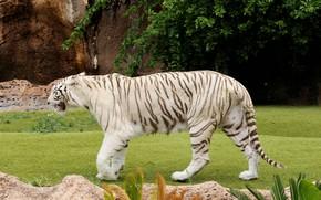 Картинка тигр, белый тигр, шагает