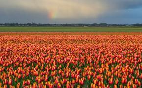 Картинка поле, небо, цветы, тучи, радуга, весна, после дождя, тюльпаны, оранжевые, поле тюльпанов, плантация, тюльпановое поле