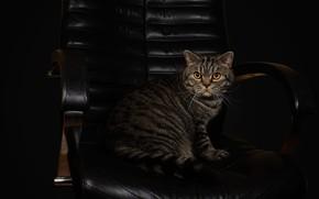 Картинка кошка, кот, взгляд, поза, темный фон, серый, кресло, кожа, мордочка, полосатый, шотландский, фотостудия