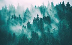 Картинка Туман, Лес, Ельник