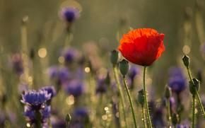 Картинка поле, цветок, цветы, красный, фон, мак, васильки
