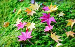 Картинка осень, трава, листья, фон, colorful, grass, клен, autumn, leaves, maple