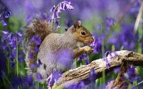 Картинка цветы, весна, белка, серая, колокольчики, сиреневые