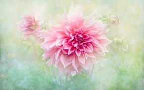 Картинка цветок, лето, капли, макро, фон, розовый, обработка, георгина