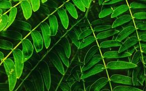 Картинка Природа, Растение, Растения, Nature, Green, Flora, Leaves, Plants, Флора, Plant, Freshness, Close-Up, Double-compound Leaves, Chitransh, …