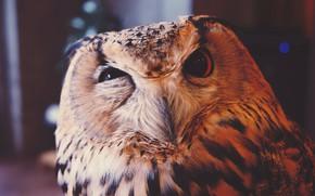 Картинка животные, сова, Птица, пернатые