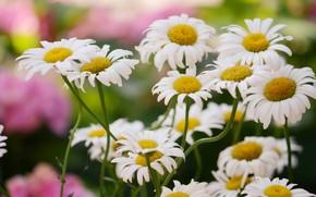 Картинка лето, цветы, стебли, ромашки, сад, белые, много