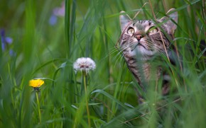 Картинка кошка, трава, мордочка, одуванчики