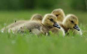 Картинка трава, птицы, поляна, малыши, птенцы, гусь, гуси, лежат, гусята, выводок