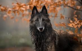 Картинка собака, портрет, взгляд, природа, морда, дождь, листва, ветки, осень