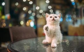 Картинка кошка, белый, взгляд, поза, котенок, стол, малыш, кафе, котёнок, сидит, боке, лапка, смотрит вверх