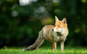 Картинка трава, взгляд, морда, свет, природа, поза, зеленый, фон, поляна, лиса, рыжая, лисица, боке, смотрит вверх