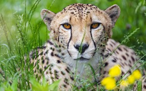 Картинка трава, портрет, хищник, гепард