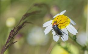 Картинка жук, ромашка, луг
