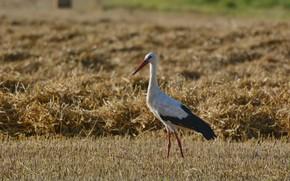 Картинка поле, взгляд, птица, аист, солома