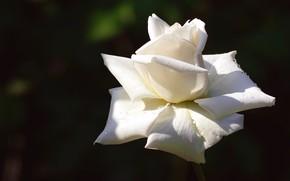 Картинка цветок, капли, свет, темный фон, роза, лепестки, бутон, контраст, белая, одна, соло