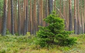 Картинка лес, мох, ёлка, сосновй