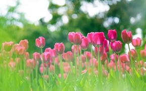 Картинка зелень, свет, цветы, весна, сад, тюльпаны, розовые, клумба, много, боке