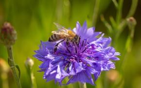 Картинка цветок, макро, пчела, василек