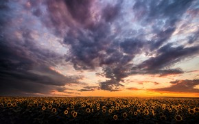 Картинка поле, лето, подсолнухи, закат