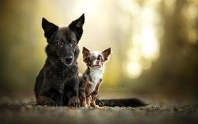 Картинка парочка, боке, две собаки, Чихуахуа