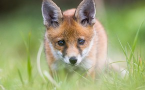 Картинка трава, взгляд, рыжий, лиса, детёныш, мордашка, лисёнок